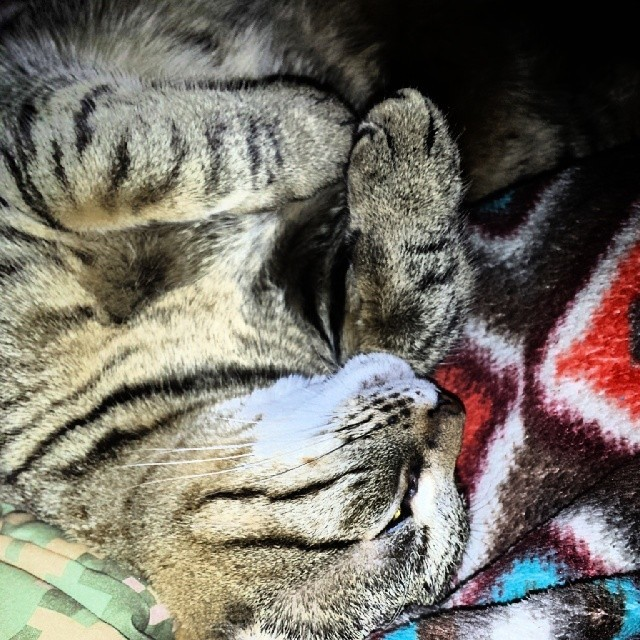 Snow a brown tabby bengal cat sleeps with his paws folded and rolled over on top of an orange patterned blanket.